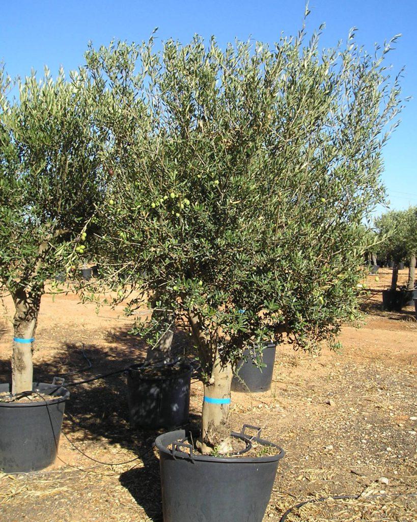 Olivo semiejemplar